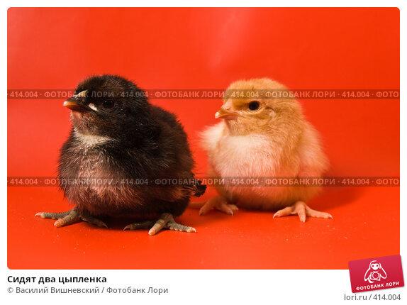 Купить «Сидят два цыпленка», фото № 414004, снято 19 апреля 2007 г. (c) Василий Вишневский / Фотобанк Лори