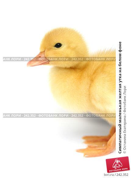 Симпатичный маленькая желтая утка на белом фоне, фото № 242352, снято 24 мая 2007 г. (c) Останина Екатерина / Фотобанк Лори