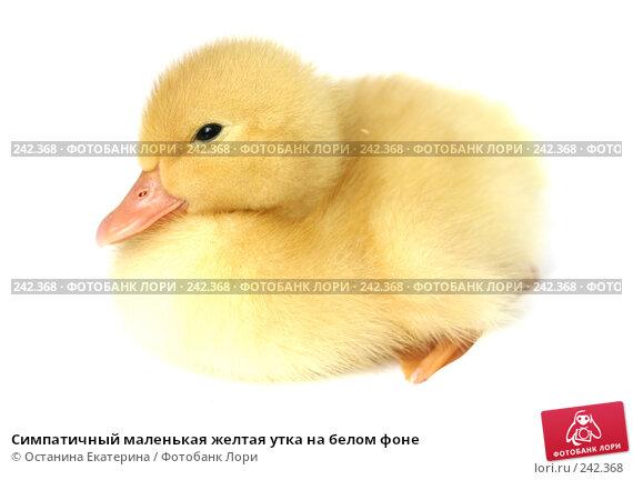 Купить «Симпатичный маленькая желтая утка на белом фоне», фото № 242368, снято 24 мая 2007 г. (c) Останина Екатерина / Фотобанк Лори