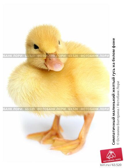 Купить «Симпатичный маленький желтый гусь на белом фоне», фото № 63520, снято 23 мая 2007 г. (c) Останина Екатерина / Фотобанк Лори