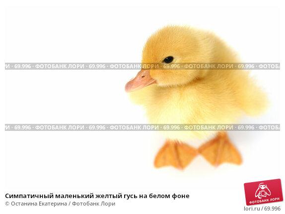 Симпатичный маленький желтый гусь на белом фоне, фото № 69996, снято 23 мая 2007 г. (c) Останина Екатерина / Фотобанк Лори