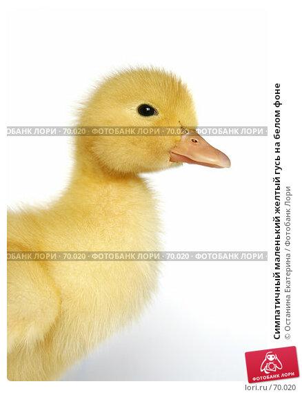 Симпатичный маленький желтый гусь на белом фоне, фото № 70020, снято 23 мая 2007 г. (c) Останина Екатерина / Фотобанк Лори