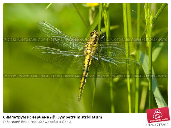 Купить «Симпетрум исчерченный, Sympetrum striolatum», фото № 717912, снято 13 июня 2008 г. (c) Василий Вишневский / Фотобанк Лори