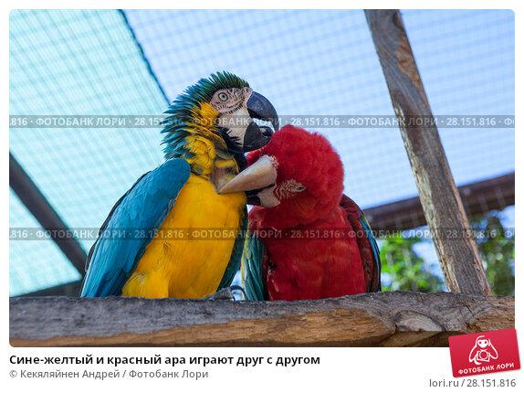 Купить «Сине-желтый и красный ара играют друг с другом», фото № 28151816, снято 2 января 2016 г. (c) Кекяляйнен Андрей / Фотобанк Лори