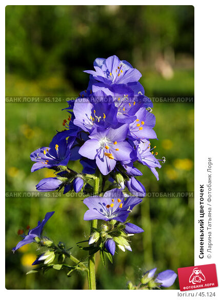 Синенький цветочек, фото № 45124, снято 20 мая 2007 г. (c) Ларина Татьяна / Фотобанк Лори