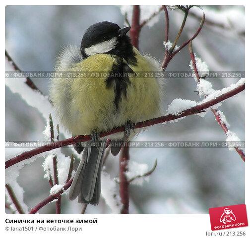 Купить «Синичка на веточке зимой», эксклюзивное фото № 213256, снято 7 апреля 2007 г. (c) lana1501 / Фотобанк Лори
