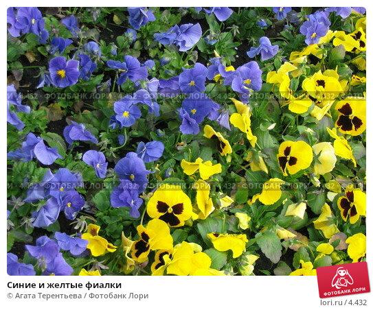 Синие и желтые фиалки, фото № 4432, снято 21 мая 2006 г. (c) Агата Терентьева / Фотобанк Лори