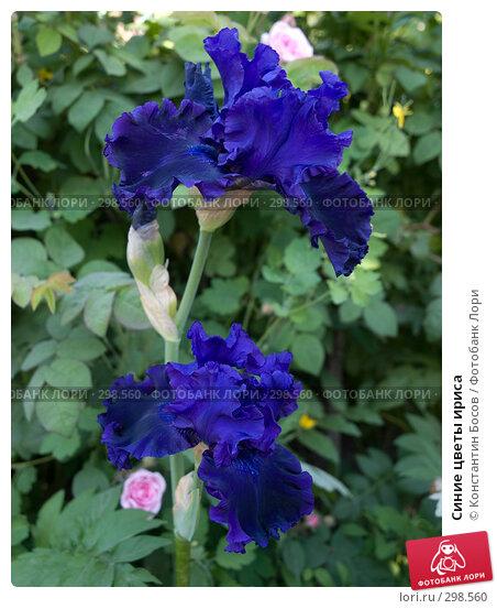 Синие цветы ириса, фото № 298560, снято 23 января 2017 г. (c) Константин Босов / Фотобанк Лори