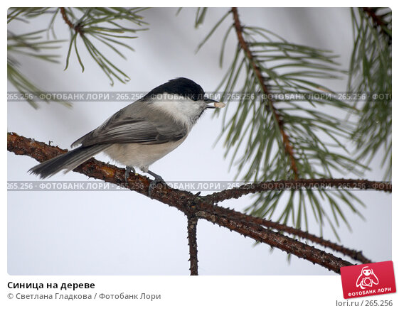 Синица на дереве, фото № 265256, снято 26 января 2008 г. (c) Cветлана Гладкова / Фотобанк Лори