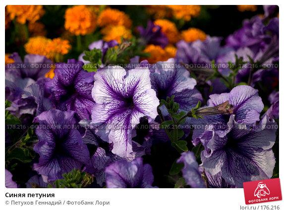 Синяя петуния, фото № 176216, снято 24 июля 2007 г. (c) Петухов Геннадий / Фотобанк Лори