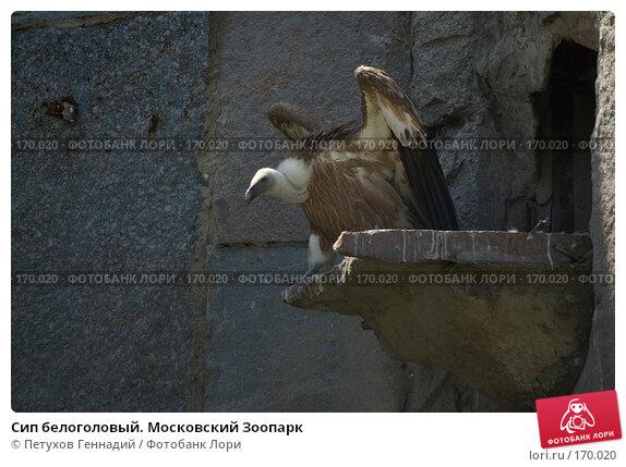 Купить «Сип белоголовый. Московский Зоопарк», фото № 170020, снято 23 июня 2007 г. (c) Петухов Геннадий / Фотобанк Лори