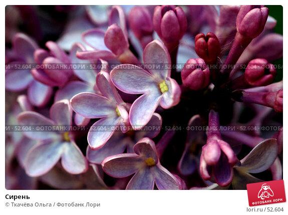 Купить «Сирень», фото № 52604, снято 19 мая 2007 г. (c) Ткачёва Ольга / Фотобанк Лори
