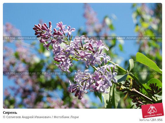 Купить «Сирень», фото № 281956, снято 19 мая 2007 г. (c) Селигеев Андрей Иванович / Фотобанк Лори