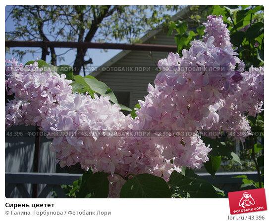 Сирень цветет, фото № 43396, снято 11 мая 2006 г. (c) Галина  Горбунова / Фотобанк Лори