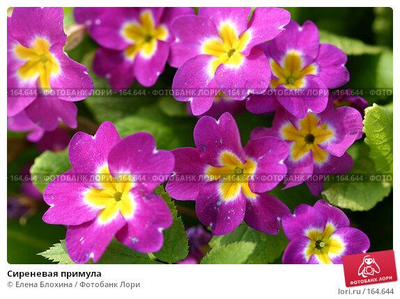 Сиреневая примула, фото № 164644, снято 26 апреля 2007 г. (c) Елена Блохина / Фотобанк Лори