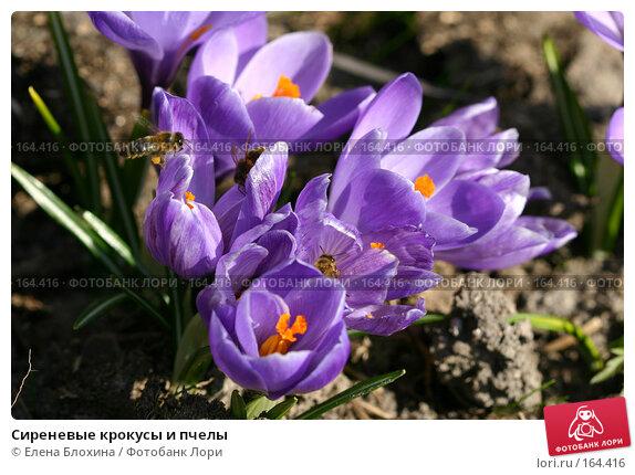 Сиреневые крокусы и пчелы, фото № 164416, снято 29 марта 2007 г. (c) Елена Блохина / Фотобанк Лори
