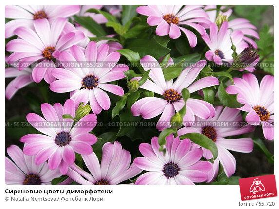 Купить «Сиреневые цветы диморфотеки», эксклюзивное фото № 55720, снято 26 мая 2007 г. (c) Natalia Nemtseva / Фотобанк Лори