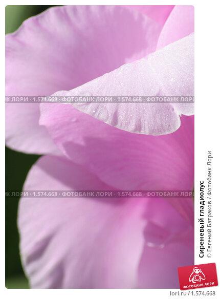 Купить «Сиреневый гладиолус», фото № 1574668, снято 12 августа 2007 г. (c) Евгений Батраков / Фотобанк Лори