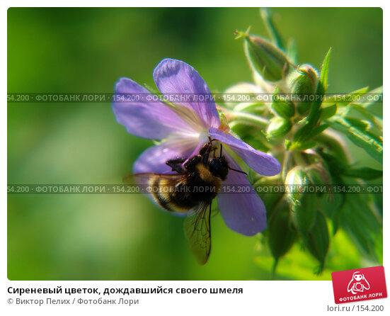 Сиреневый цветок, дождавшийся своего шмеля, фото № 154200, снято 16 июня 2007 г. (c) Виктор Пелих / Фотобанк Лори