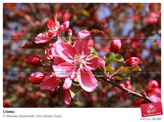 Купить «Слива», фото № 36840, снято 29 апреля 2007 г. (c) Михаил Баевский / Фотобанк Лори