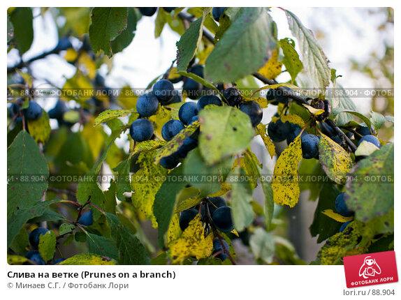 Слива на ветке (Prunes on a branch), фото № 88904, снято 22 сентября 2007 г. (c) Минаев С.Г. / Фотобанк Лори