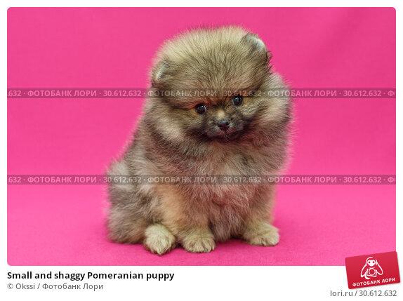 Купить «Small and shaggy Pomeranian puppy», фото № 30612632, снято 10 апреля 2019 г. (c) Okssi / Фотобанк Лори