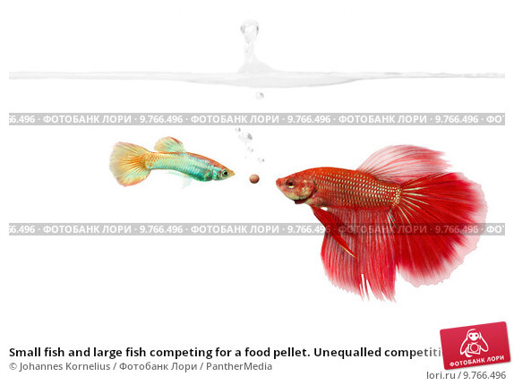 Купить «Small fish and large fish competing for a food pellet. Unequalled competition.», фото № 9766496, снято 18 февраля 2019 г. (c) PantherMedia / Фотобанк Лори