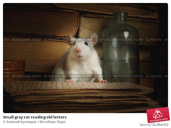 Small gray rat reading old letters. Стоковое фото, фотограф Алексей Кузнецов / Фотобанк Лори