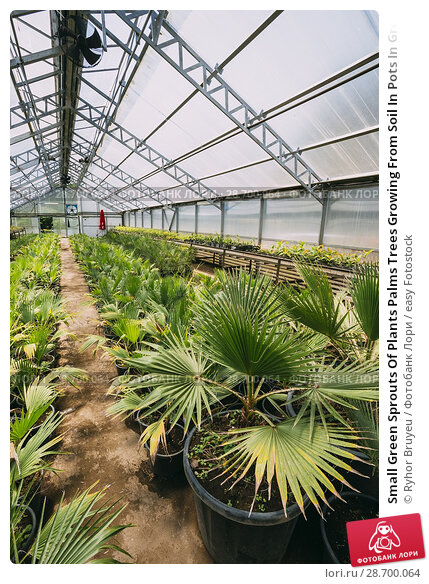 Купить «Small Green Sprouts Of Plants Palms Trees Growing From Soil In Pots In Greenhouse Or Hothouse. Spring, Concept Of New Life.», фото № 28700064, снято 27 мая 2016 г. (c) easy Fotostock / Фотобанк Лори