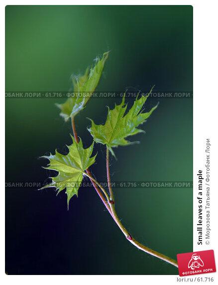 Small leaves of a maple, фото № 61716, снято 25 мая 2006 г. (c) Морозова Татьяна / Фотобанк Лори