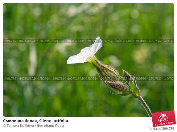 Смолевка белая, Silene latifolia, фото № 299736, снято 24 мая 2008 г. (c) Tamara Kulikova / Фотобанк Лори