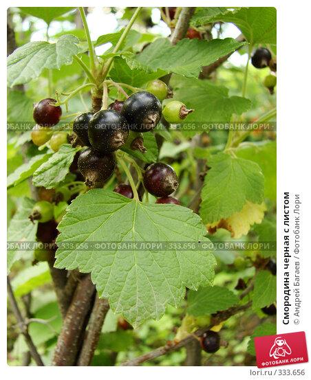 Купить «Смородина черная с листом», фото № 333656, снято 13 июня 2008 г. (c) Андрей Багаев / Фотобанк Лори