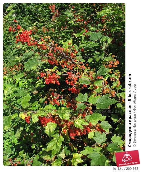 Смородина красная - Ribes rubrum, фото № 200168, снято 22 июля 2007 г. (c) Беляева Наталья / Фотобанк Лори