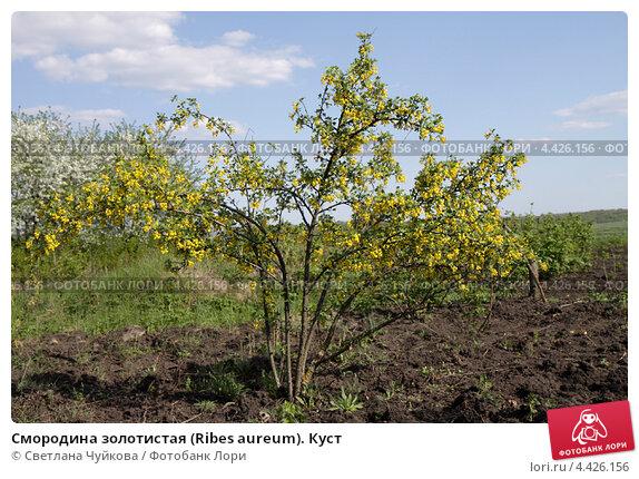Купить «Смородина золотистая (Ribes aureum). Куст», фото № 4426156, снято 2 мая 2010 г. (c) Светлана Чуйкова / Фотобанк Лори