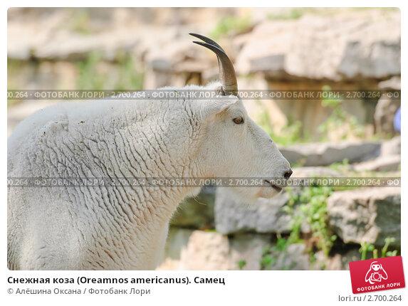Купить «Снежная коза (Oreamnos americanus). Самец», фото № 2700264, снято 12 июля 2011 г. (c) Алёшина Оксана / Фотобанк Лори