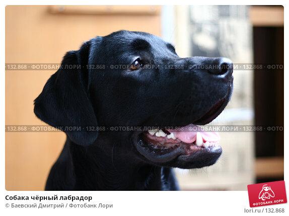 Собака чёрный лабрадор, фото № 132868, снято 5 ноября 2007 г. (c) Баевский Дмитрий / Фотобанк Лори