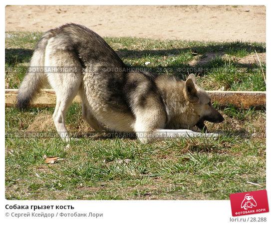 Собака грызет кость, фото № 28288, снято 6 мая 2006 г. (c) Сергей Ксейдор / Фотобанк Лори