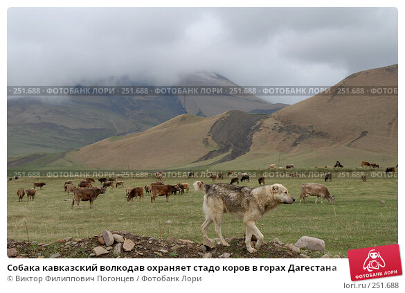 Собака кавказский волкодав охраняет стадо коров в горах Дагестана, фото № 251688, снято 15 мая 2007 г. (c) Виктор Филиппович Погонцев / Фотобанк Лори