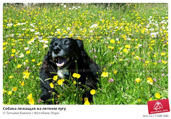 Купить «Собака лежащая на летнем лугу», фото № 7645940, снято 23 мая 2015 г. (c) Татьяна Кахилл / Фотобанк Лори