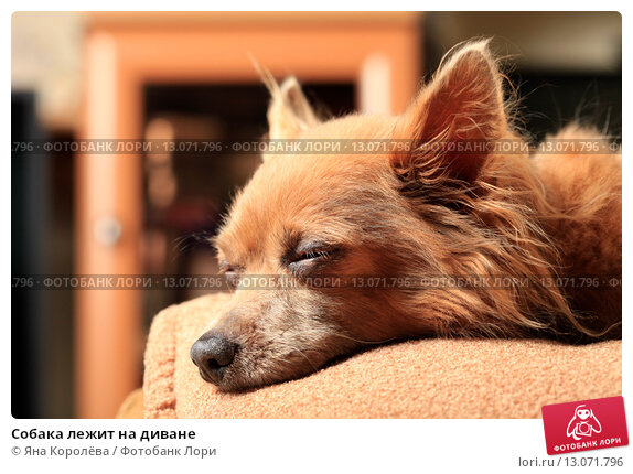 Купить «Собака лежит на диване», эксклюзивное фото № 13071796, снято 16 августа 2015 г. (c) Яна Королёва / Фотобанк Лори