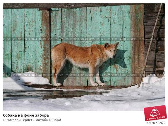 Собака на фоне забора, фото № 2972, снято 28 марта 2006 г. (c) Николай Гернет / Фотобанк Лори