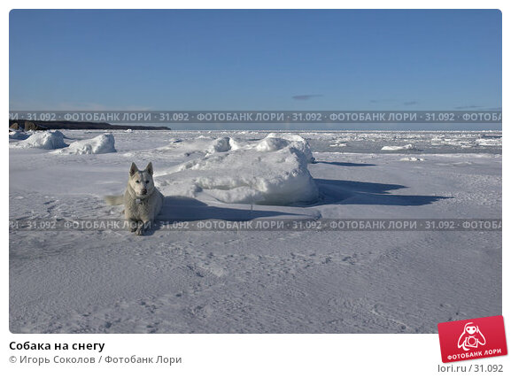 Собака на снегу, фото № 31092, снято 21 февраля 2017 г. (c) Игорь Соколов / Фотобанк Лори