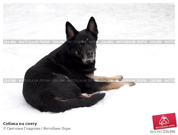 Собака на снегу, фото № 234896, снято 23 июля 2017 г. (c) Cветлана Гладкова / Фотобанк Лори