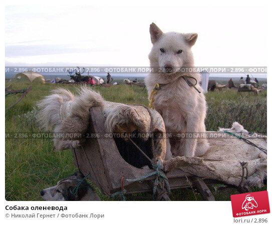 Собака оленевода, фото № 2896, снято 2 августа 2005 г. (c) Николай Гернет / Фотобанк Лори