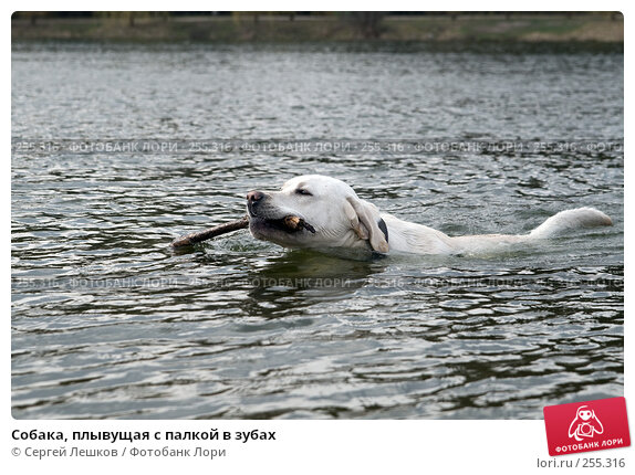 Собака, плывущая с палкой в зубах, фото № 255316, снято 11 апреля 2008 г. (c) Сергей Лешков / Фотобанк Лори
