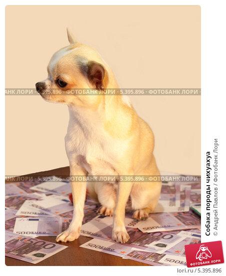 Собака породы чихуахуа. Стоковое фото, фотограф Андрей Павлов / Фотобанк Лори