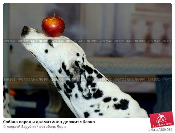 Собака породы далматинец держит яблоко, фото № 289932, снято 15 апреля 2006 г. (c) Алексей Зарубин / Фотобанк Лори