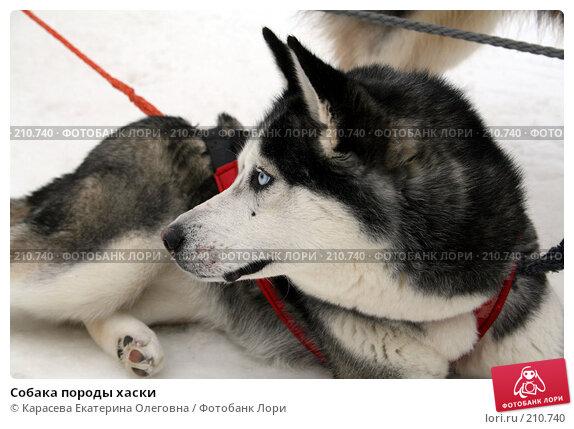 Собака породы хаски, фото № 210740, снято 7 февраля 2008 г. (c) Карасева Екатерина Олеговна / Фотобанк Лори