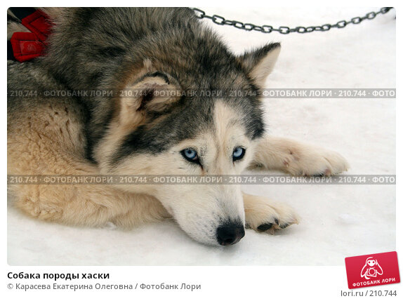 Собака породы хаски, фото № 210744, снято 7 февраля 2008 г. (c) Карасева Екатерина Олеговна / Фотобанк Лори