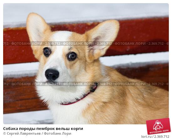 Купить «Собака породы пемброк вельш корги», фото № 2369712, снято 3 февраля 2011 г. (c) Сергей Лаврентьев / Фотобанк Лори
